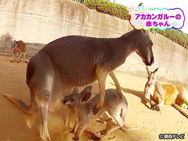 【会員無料】きょうのおともだちは?/アカカンガルーの赤ちゃん