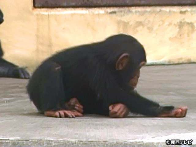 【会員無料】きょうのおともだちは?/チンパンジー