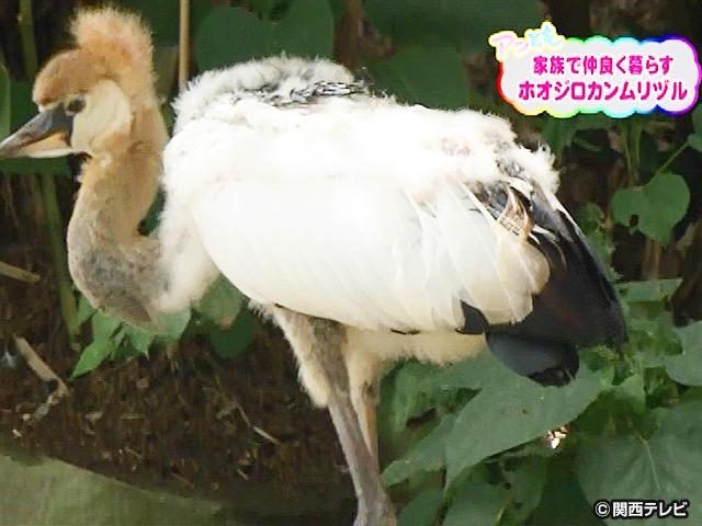 【会員無料】きょうのおともだちは?/ホオジロカンムリヅルの赤ちゃん