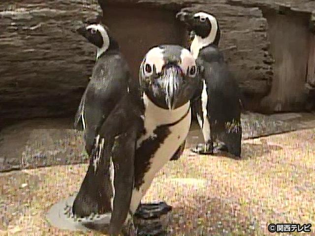 【会員無料】きょうのおともだちは?/ケープペンギン