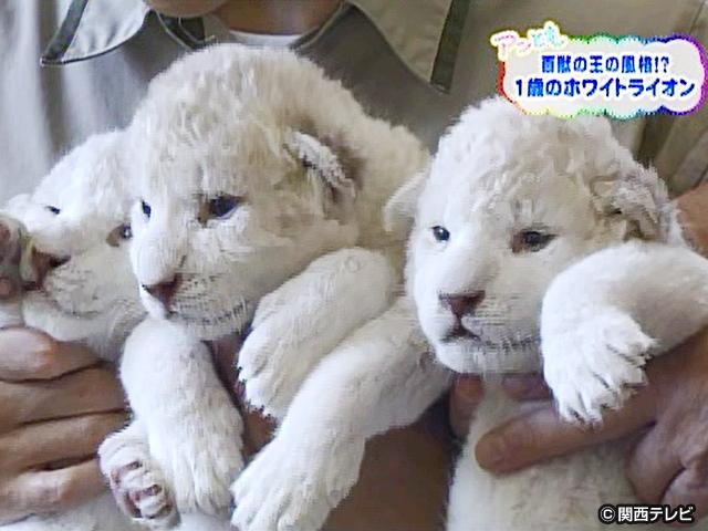 【会員無料】きょうのおともだちは?/ホワイトライオン